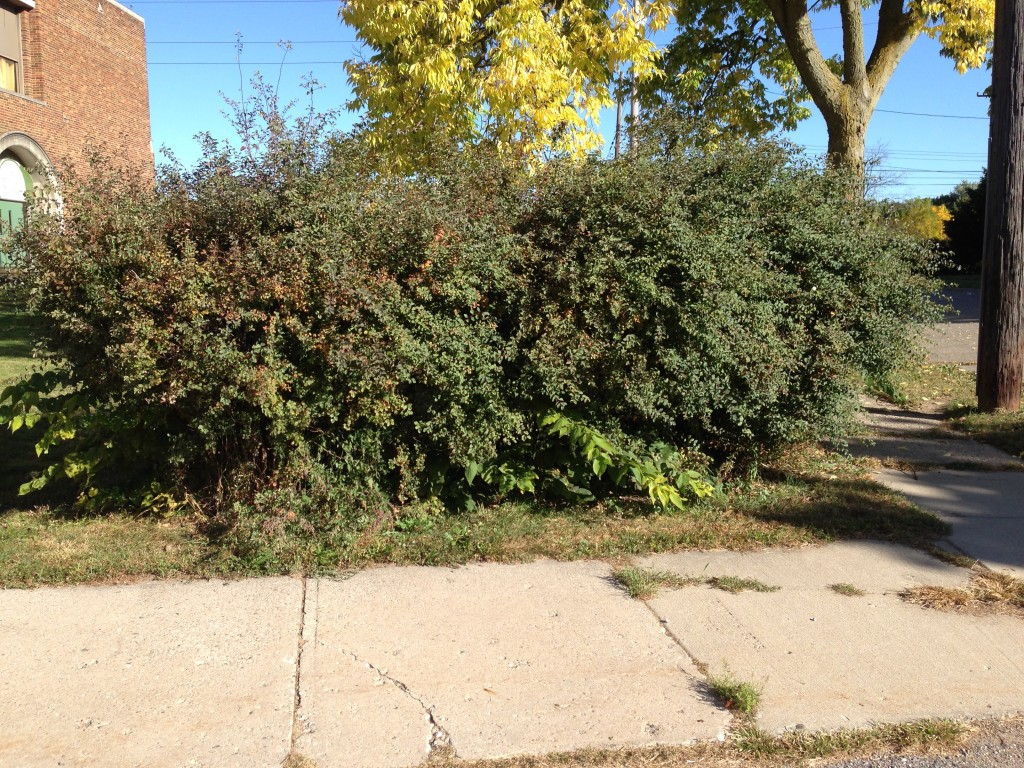 Shrubs on West Street (near the parking lot entrance) need serious trimming.